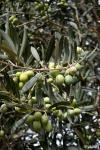 Food_Olive siciliane