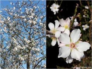 Mandorle in fiore