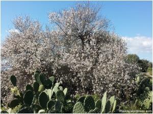 Mandorlo in fiore (2)