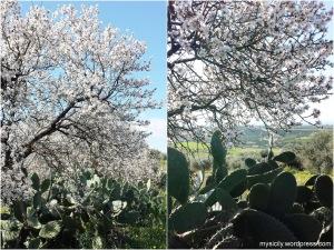 Mandorlo in fiore (3)