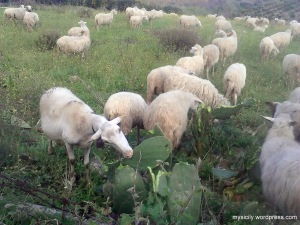 Sicilian sheep eating cactus leaves