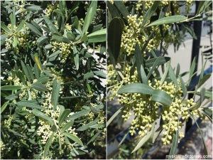 April - May_Gli alberi d'ulivo in fiori