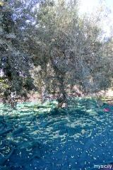 Sicily_Raccolta di olive