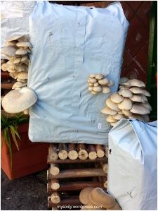 Funghi pleurotus1